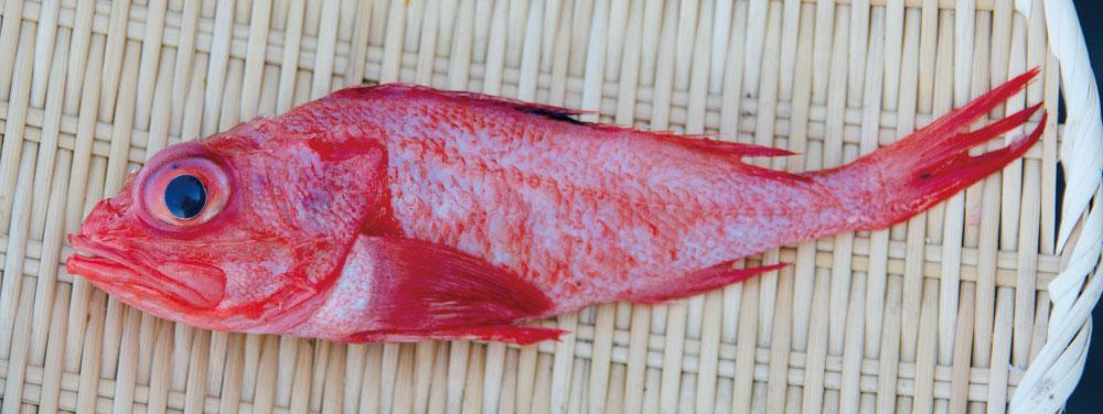 高級魚キンキ!値段・産地・食べ方等をを大公開|煮付け/刺身/干物/湯煮