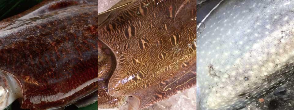 それ、本当にコウイカ?まぎらわしいコウイカ3種類とその見分け方!