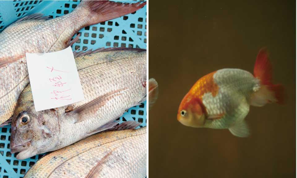 【ソボクなギモン】淡水魚と海水魚の違いは?同じ水には棲めないの?