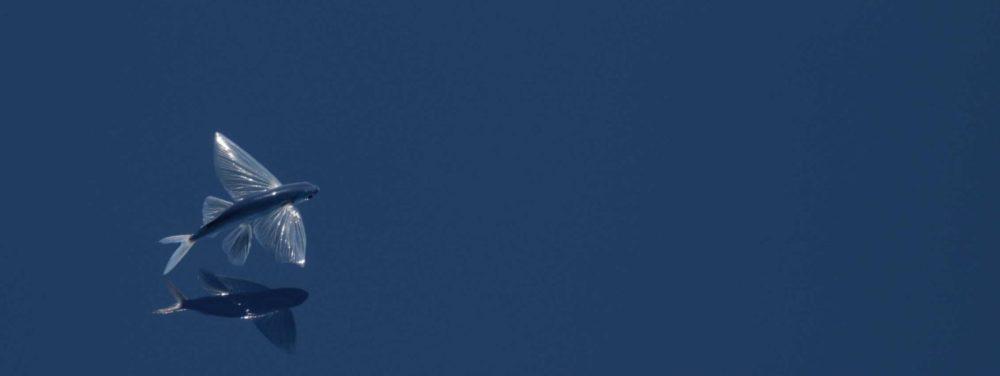【ソボクなギモン】トビウオが飛ぶ理由は?鳥より速く飛ぶって本当?